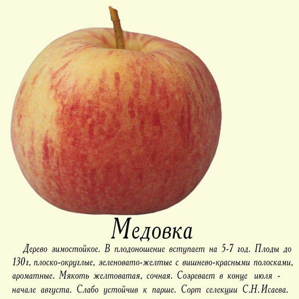 медовка яблоки фото