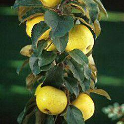 Золотой Ранет яблоня - фото, описание сорта, отзывы