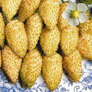 желтая земляники (клубники) - фото, характеристики, описание, семена